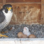 Dot.ca Takes a Turn in the Nest Box 5/25/13