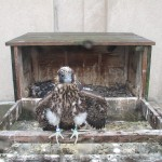 Rosetta Before Fledging at the  Nest Box Rochester NY
