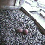 Two Eggs in the Nest Box