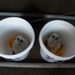 Two of the Four Eyases Ready for Banding