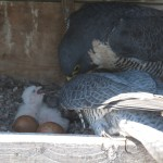 2nd Hatch #8 5-6-15 MainCamera_20150506-120800