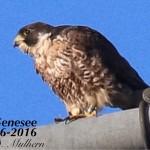 2016 Genesee #3 6-16 by Dana