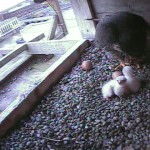 3 Hatches Feeding 5-2-17 Camera2_20170502-062000