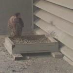 #3 Aria at Etobicoke Nest Site 10-23-17