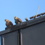 13-fledge-watch-letchworth-sundara-6-21-18