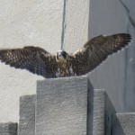 7-fledge-watch-mike-6-10-18